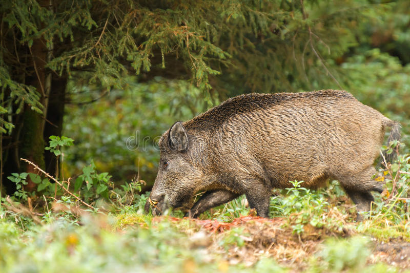Download Wild boar in the forest stock image. Image of hunted - 26877905
