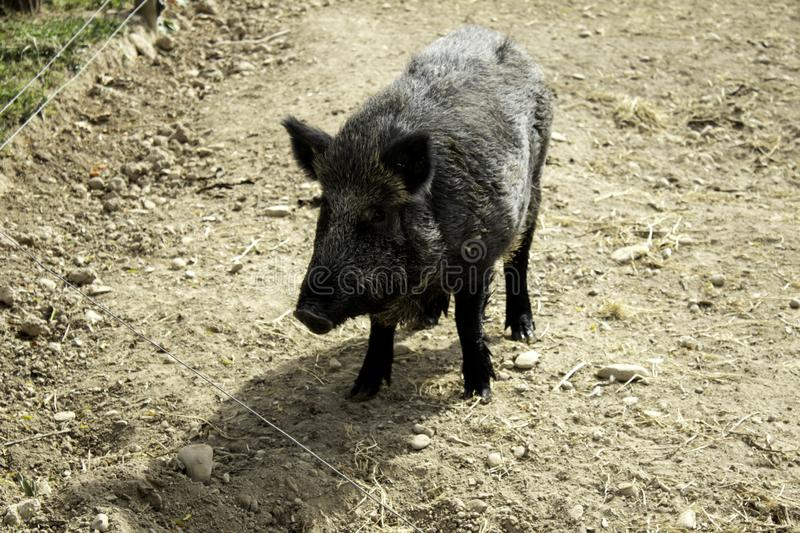 Wild boar forest royalty free stock photography