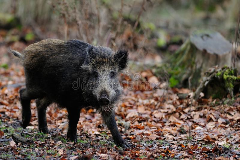Wild boar in the forest, autumn. Sus scrofa stock photos