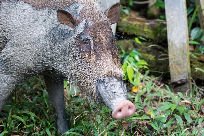 Wild boar in the forest in Borneo stock image