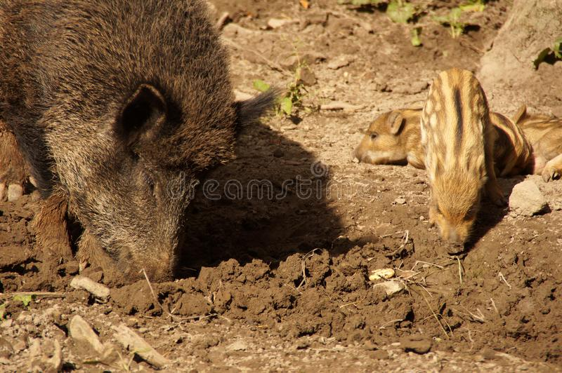 Wild boar on a glade in the forest. royalty free stock images
