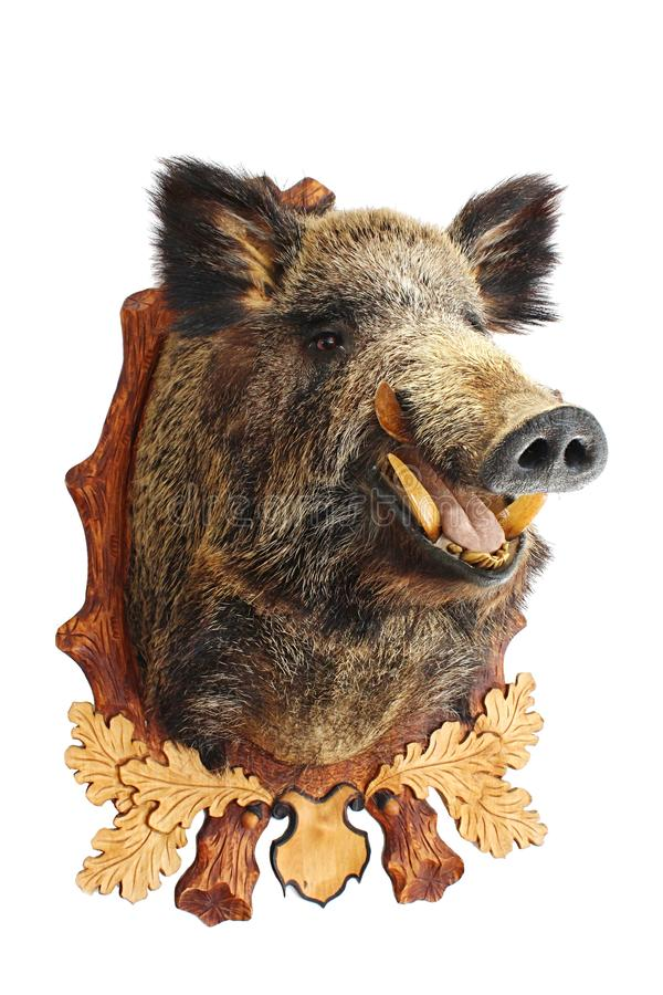 Wild boar head hunter trophy hanged on wooden frame with decorative leaves and acorns royalty free stock image