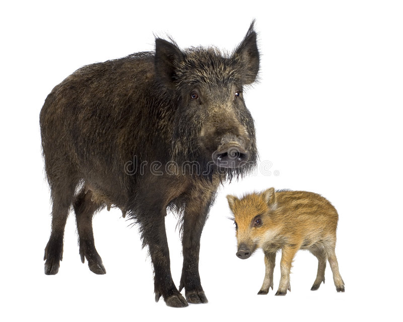 Wild Boar And Her Piglet Stock Images