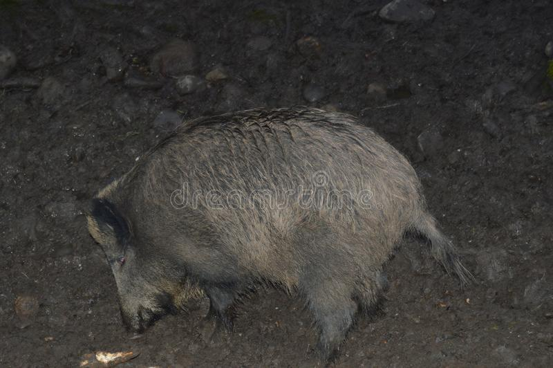 Wild boar in his natural enviroment stock image