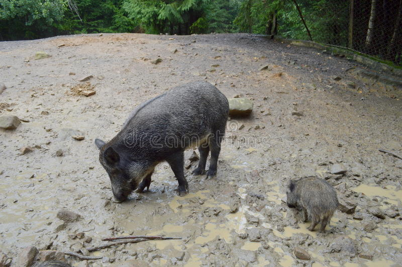 The wild boar with little piglet stock photo
