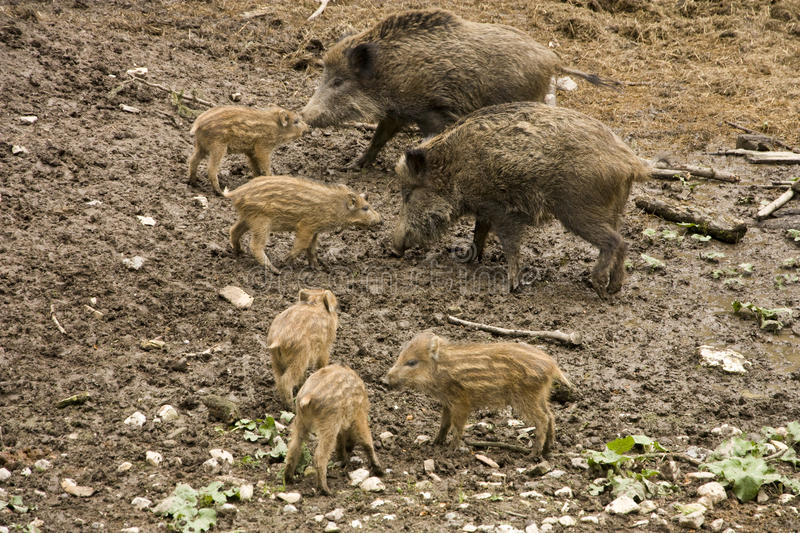 Wild boar. Looking for food in the forest stock photography