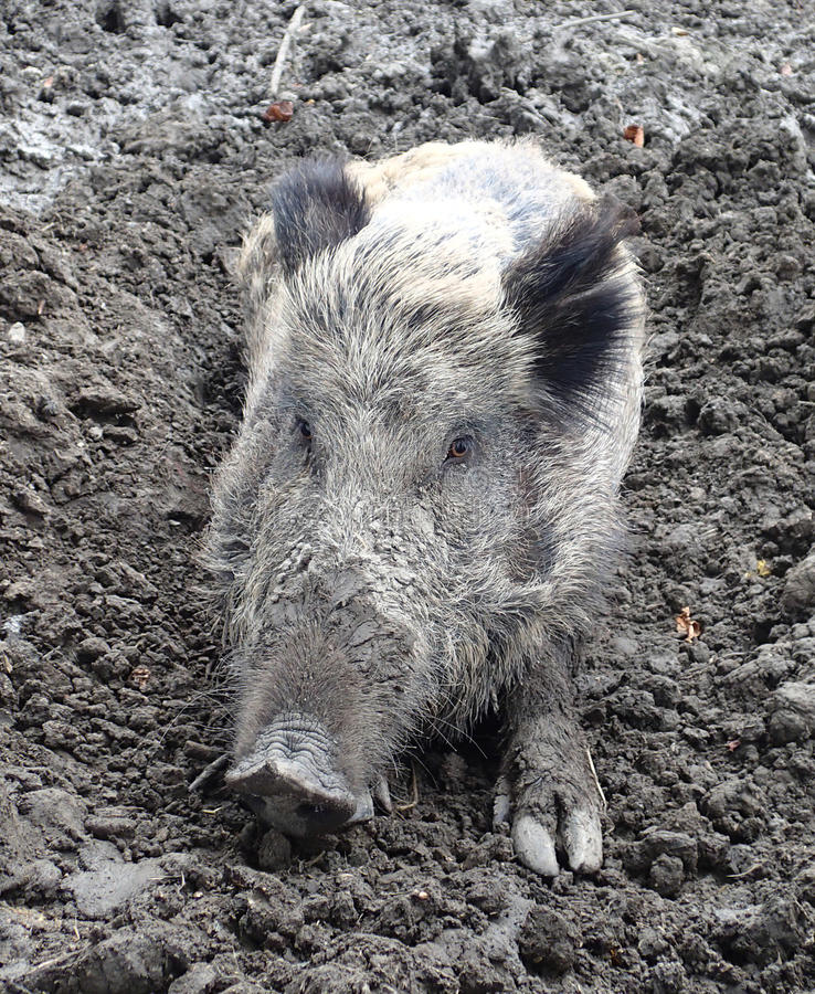 Wild boar on mud stock image