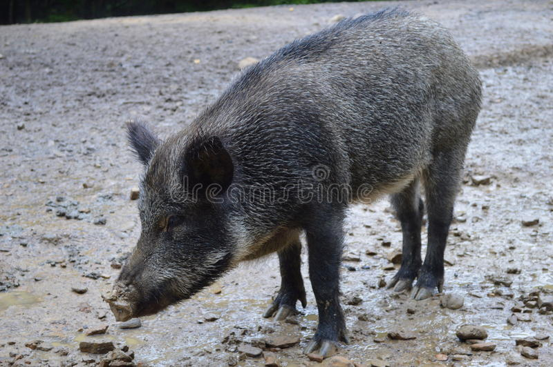 The wild boar in the mud stock photos