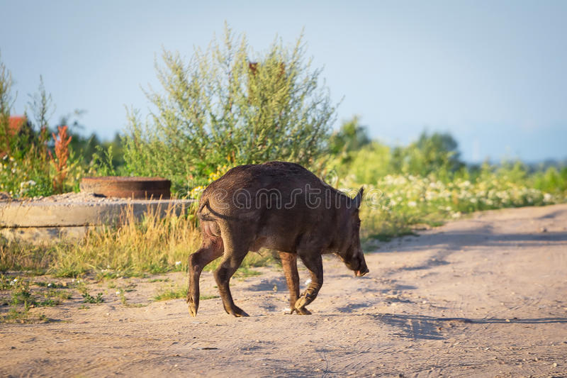 Download Wild boar on the path stock photo. Image of path, coming - 32164822