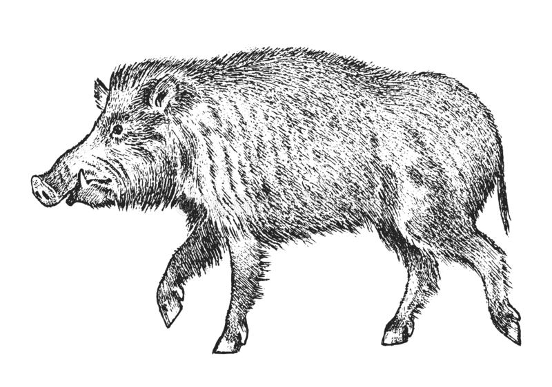 Wild boar, pig or swine, forest animal. Symbol of the north. Vintage monochrome style. Mammal in Eurasia. Engraved hand vector illustration