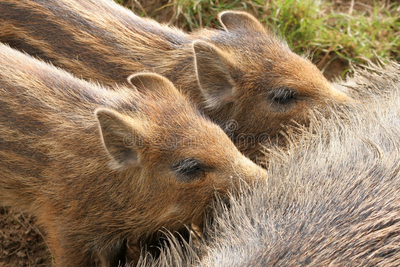 Wild boar piglets stock photos
