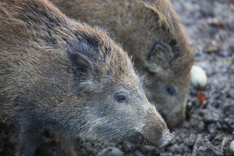Wild Boar Piglets in the Forest. Germany stock photo