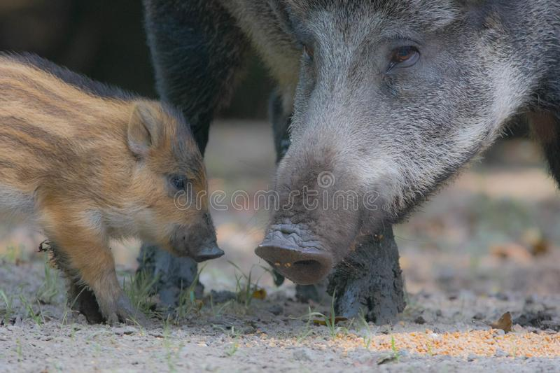 Wild boar pigs royalty free stock photography