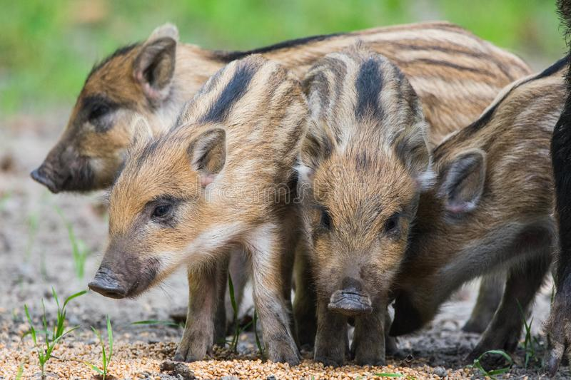 Wild boar pigs royalty free stock images