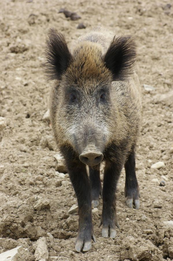Download Wild boar portrait stock photo. Image of nature, natural - 23943320