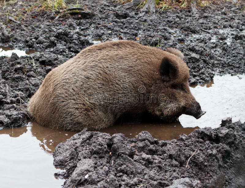 Download Wild Boar In puddle stock photo. Image of beast, national - 25380958
