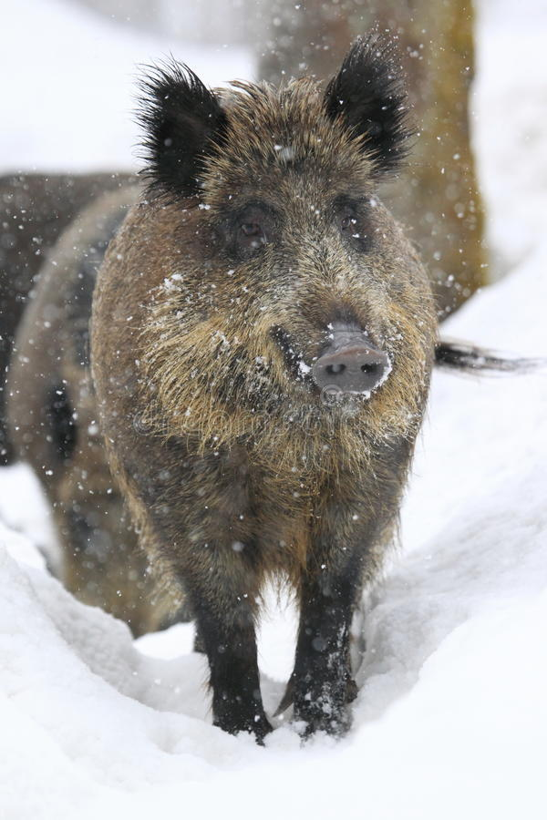 Download Wild Boar In Snowfall Royalty Free Stock Images - Image: 23567909