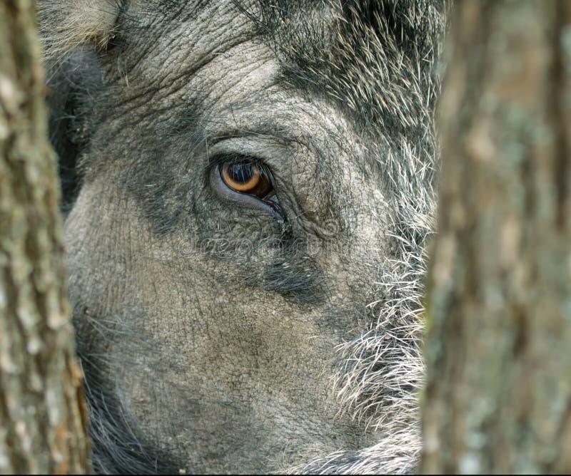 Wild Boar( Sus Scrofa ). Stock Images