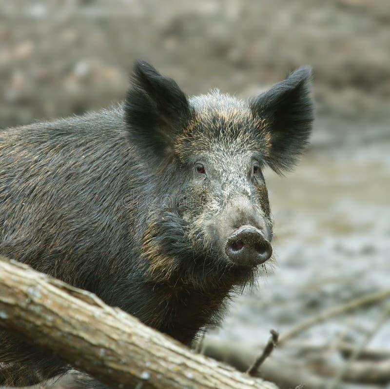 Wild Boar ( Sus scrofa ) stock photography