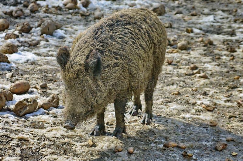 Wild animal. Wild boar (Sus scrofa). Wild animal. Sus scrofa. Wild boar in the enclosure, at the zoo stock photos