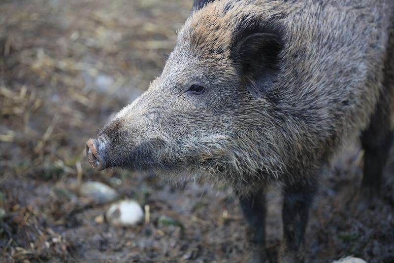 Wild Boar in the Forest. Germany royalty free stock photo