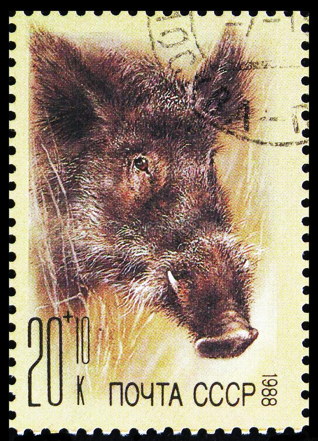 Wild Boar (Sus scrofa), ZOO Relief Fund serie, Circa 1988 arkivbilder