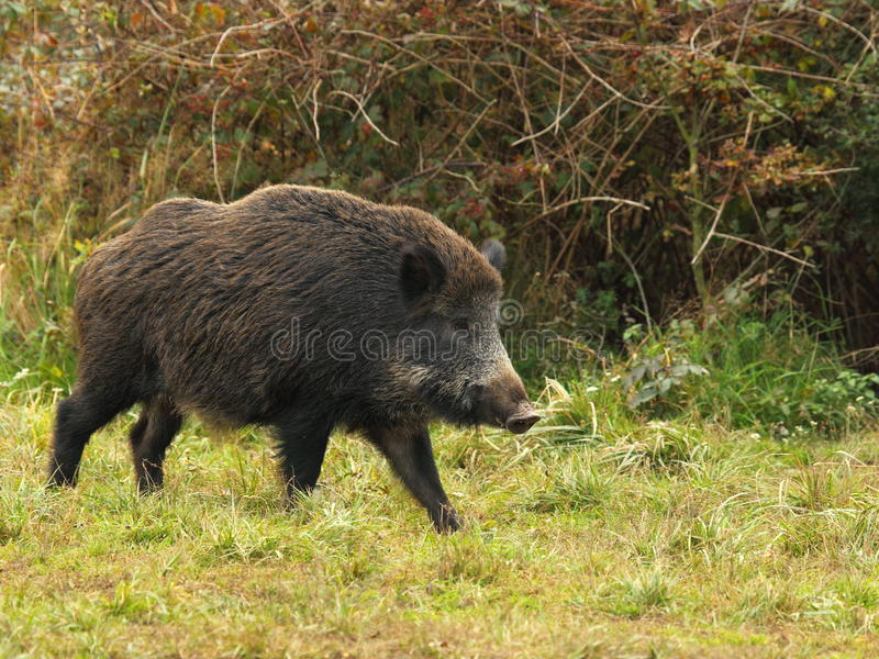 Wild boar before a thicket. On a grass stock photos