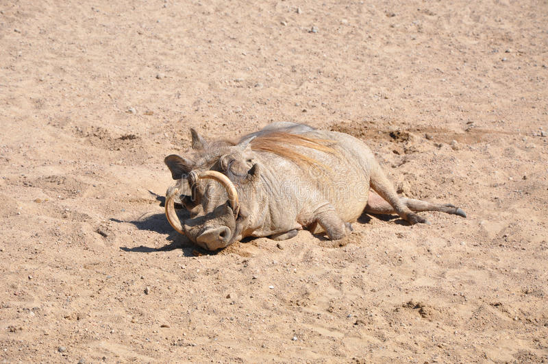 Wild Boar With Tusk Royalty Free Stock Photography