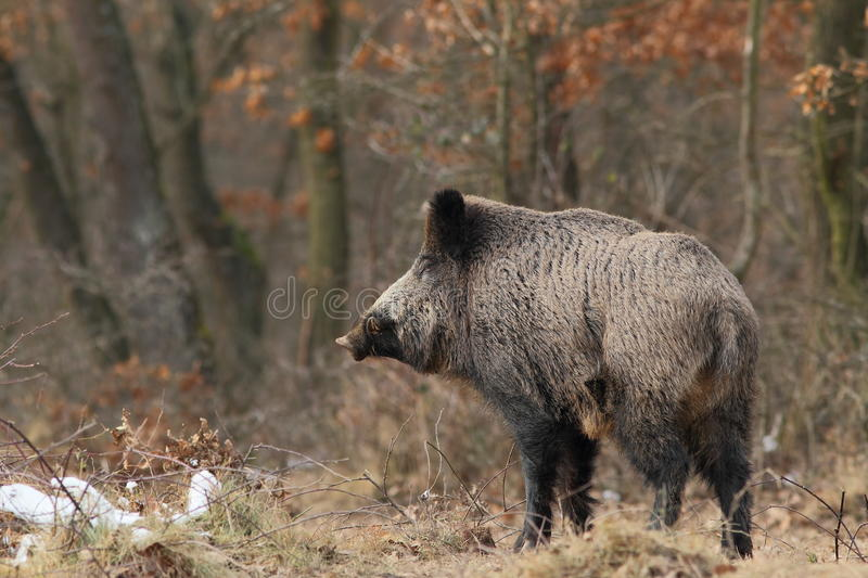 Download Wild Boar With  Tusks Royalty Free Stock Photo - Image: 18886235