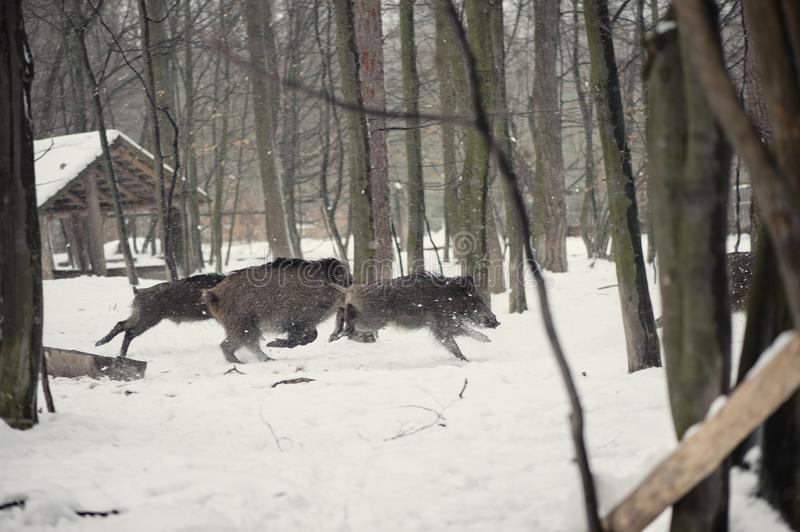 Wild boar in the winter frosty forest with snow. Animal, attack, background, bristles, brown, closeup, cold, creature, dangerous, dark, ear, environment, eye royalty free stock photos