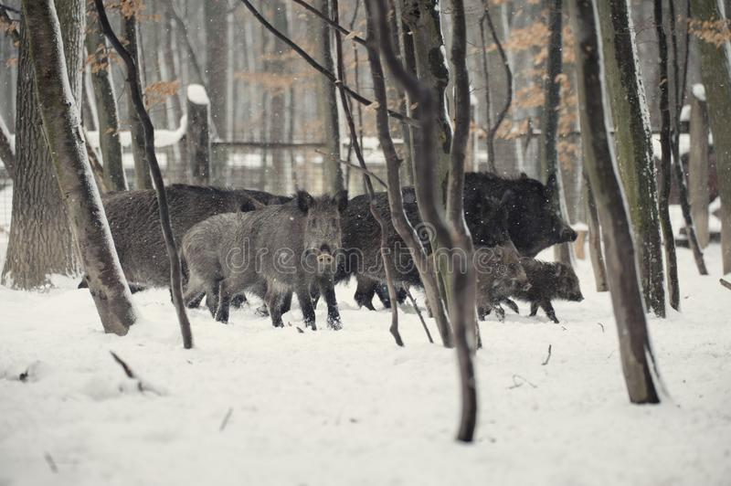 Wild boar in the winter frosty forest with snow. Animal, attack, background, bristles, brown, closeup, cold, creature, dangerous, dark, ear, environment, eye stock image