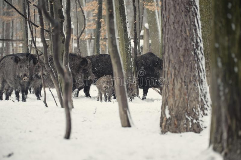 Wild boar in the winter frosty forest with snow. Animal, attack, background, bristles, brown, closeup, cold, creature, dangerous, dark, ear, environment, eye royalty free stock images