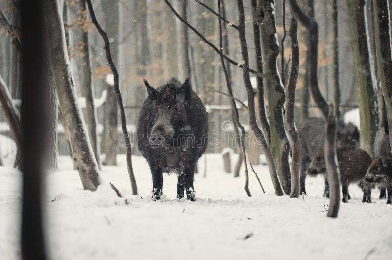 Wild boar in the winter frosty forest with snow. Animal, attack, background, bristles, brown, closeup, cold, creature, dangerous, dark, ear, environment, eye royalty free stock image