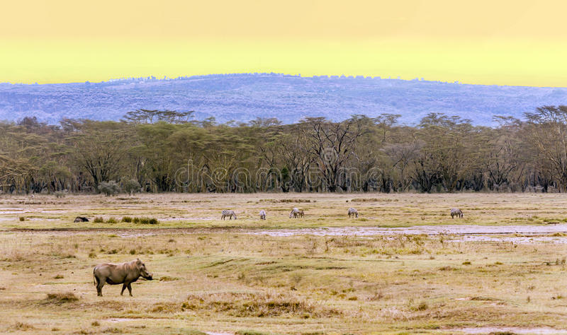 Wild board on the African savannah. Wild board with acacias on the African savannah of Kenya´the picture it´s taken at sunset stock image
