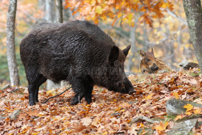 Download Wild-boars stock photo. Image of mammal, leaves, nature - 20290844