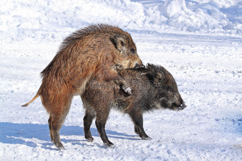 Download Wild-boars stock image. Image of dominant, imposant, colours - 22936153