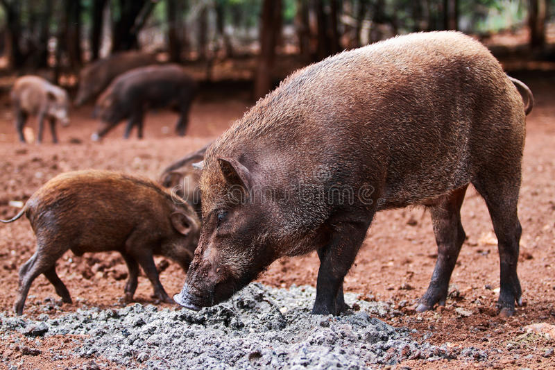 Download Wild boars stock photo. Image of park, outback, nature - 28005114