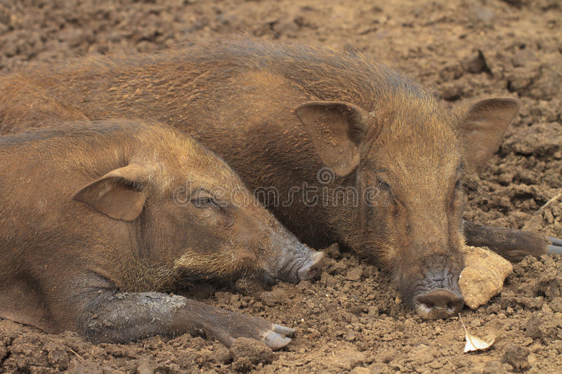 Download Wild boars stock photo. Image of standing, wild, image - 28063818
