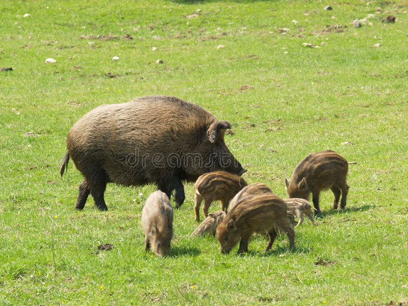 Wild boars. Wild sow and piglets