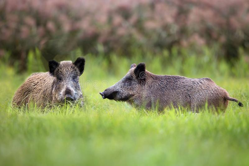 Wild boars in a clearing stock photography