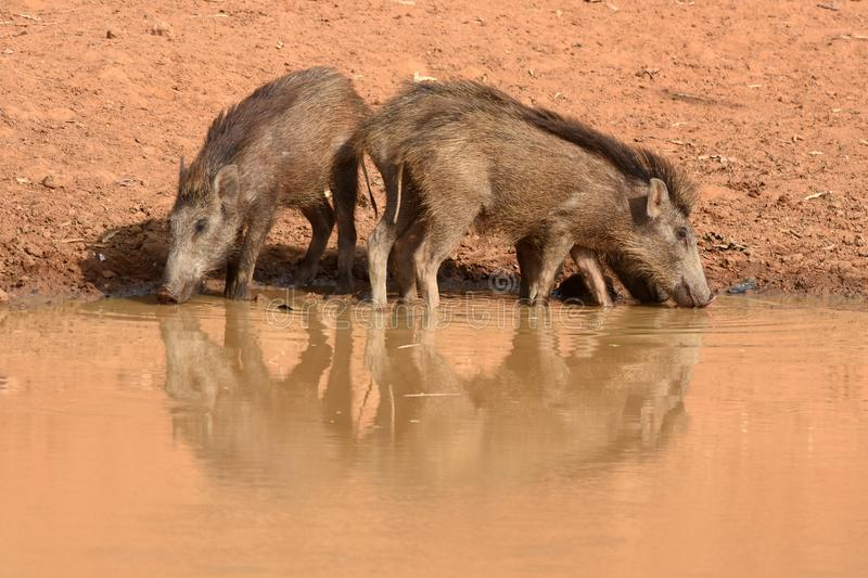 Wild boars drinking royalty free stock images