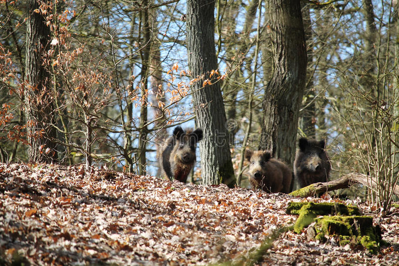 Wild boars in a forest stock photography