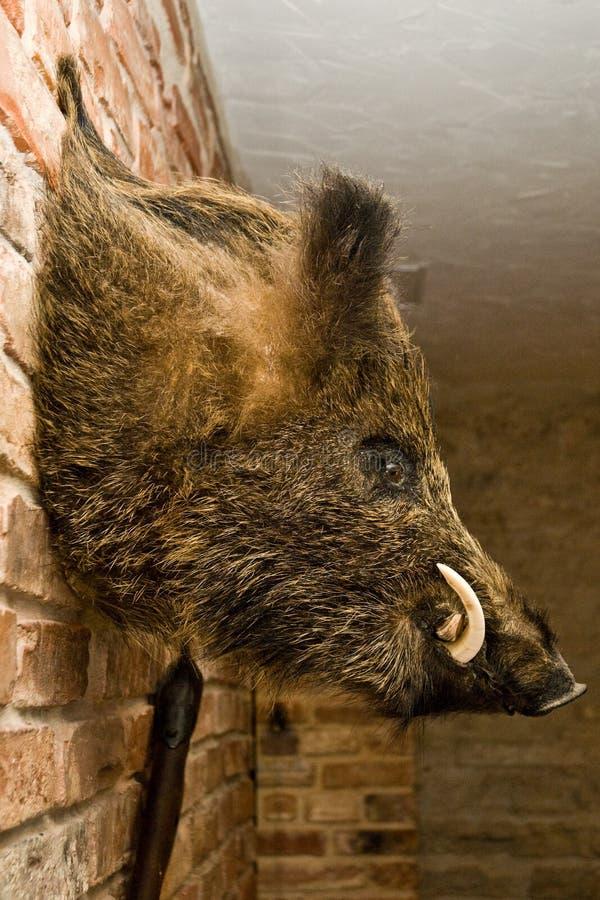 Wild boars head on wall