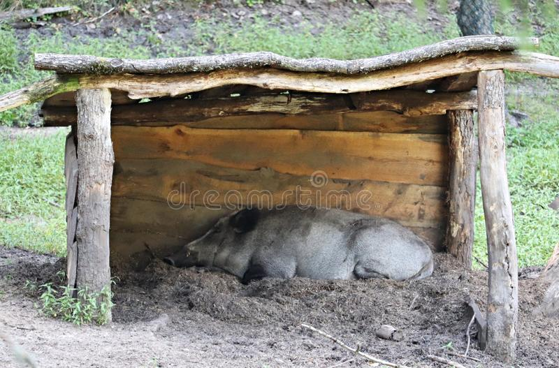 Wild boars on a sunny day hide from the rays of the sun under a wooden canopy.  stock photography