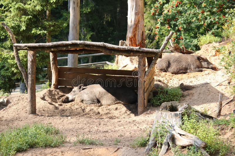 Wild boars on a sunny day hide from the rays of the sun under a wooden canopy.  royalty free stock photography