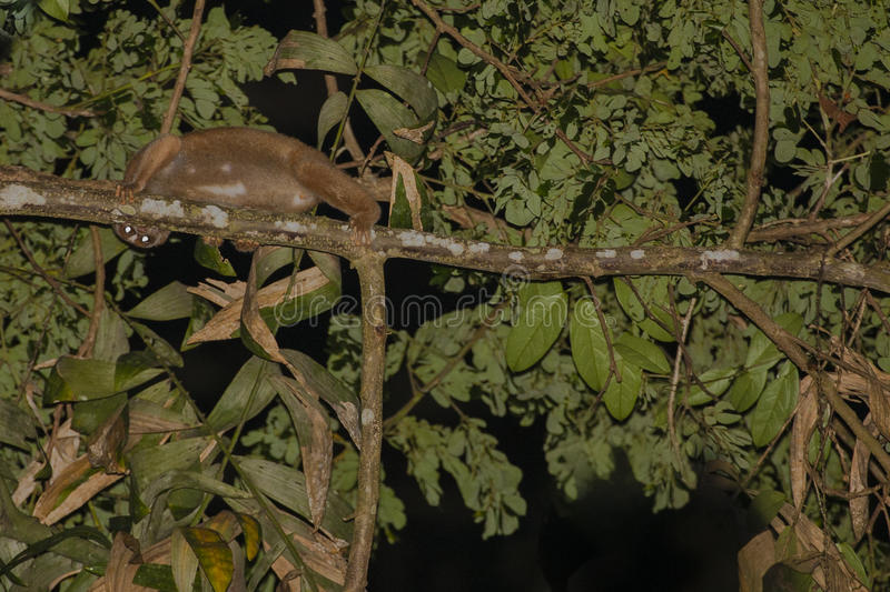 Wild Bornean Slow Lori Peeking Around Branch. This fuzzy, brown, venomous mammal with large eyes reflecting light at night while climbing high in a tree moves royalty free stock photos
