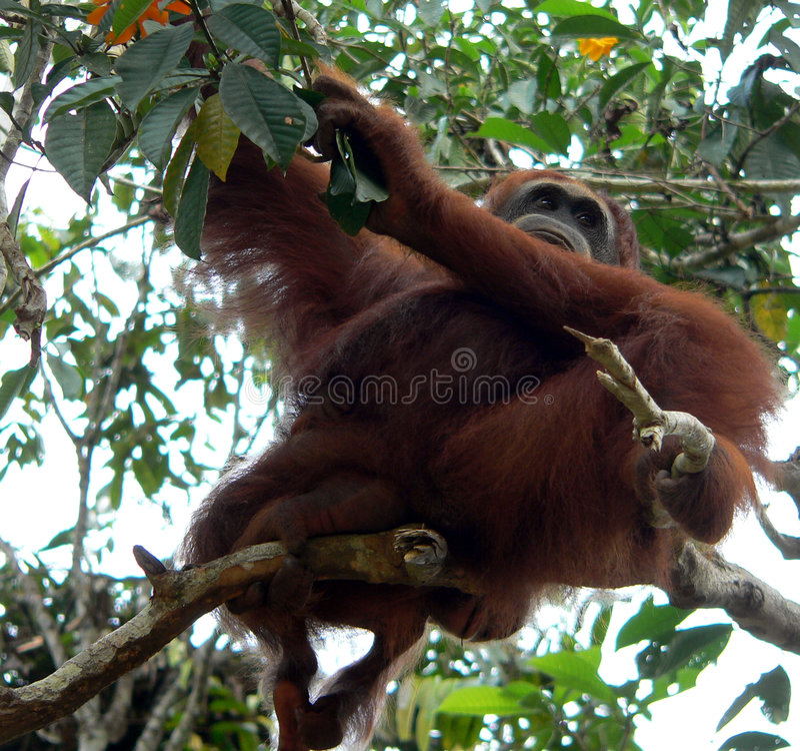 wild borneo central orangutan royaltyfri bild