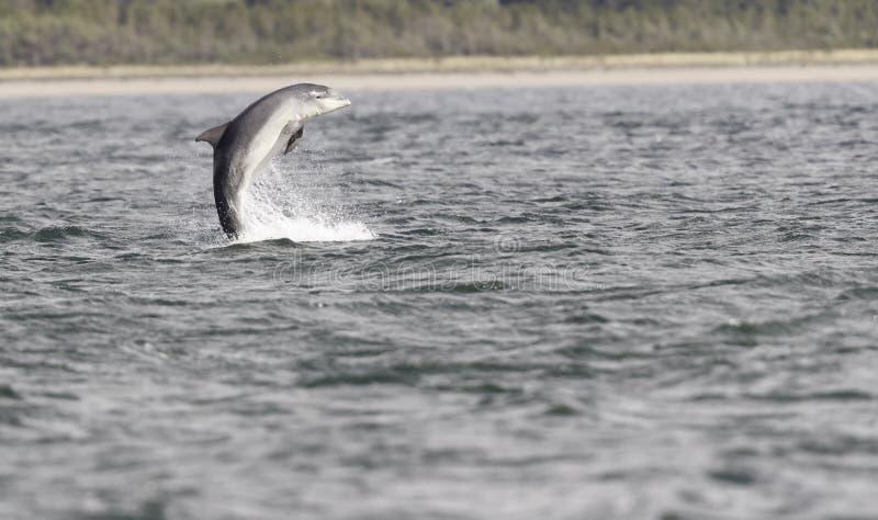 Wild bottlenose dolphin tursiops truncatus stock images