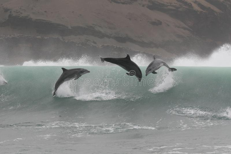 Wild bottlenose dolphins jumping off the coast of Peru royalty free stock images