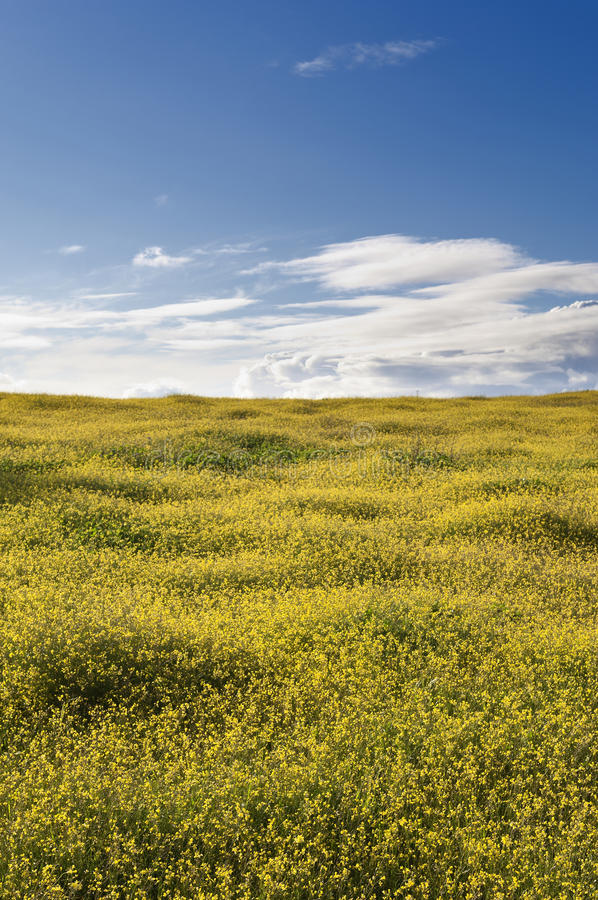 Download Wild brassica stock photo. Image of countryside, herb - 28531932